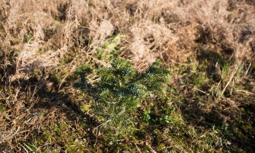 A young Christmas Tree Starts its Ten Year Journey