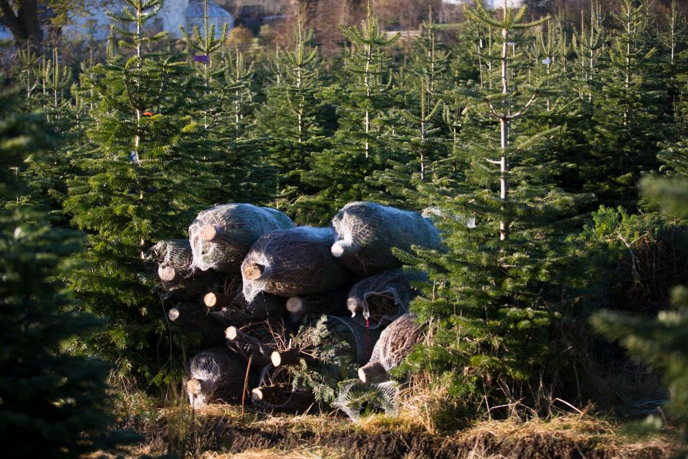 Christmas Trees Ready for Transportation