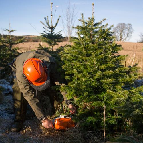 Cutting Down Christmas Trees at Edenmill Farm