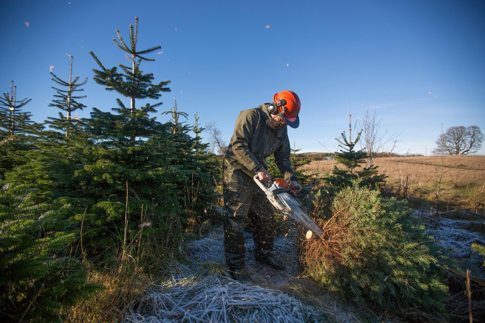Cutting Down Christmas Trees on Edenmill Farm