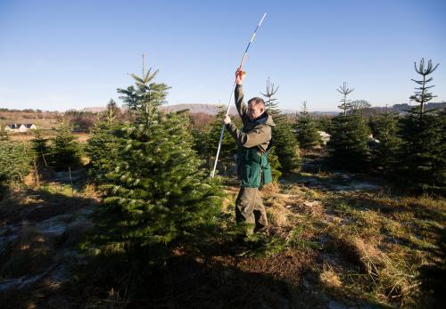 Labelling Christmas Trees at Edenmill Farm