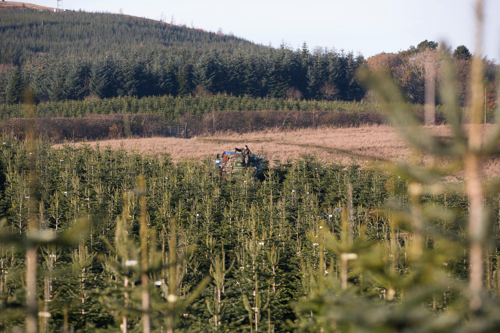 Packing Christmas Trees at Edenmill Farm
