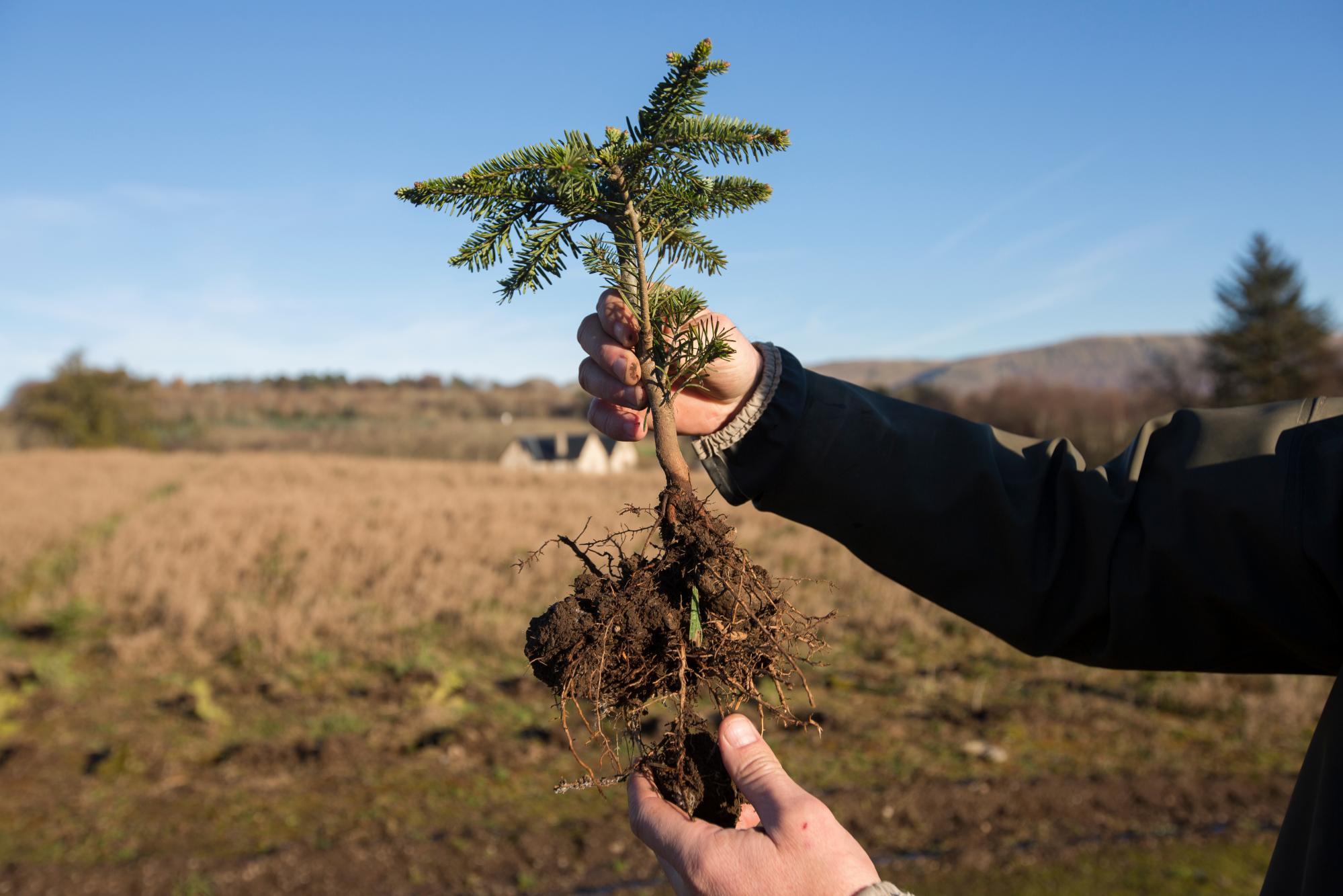 Planting a Real Christmas Tree