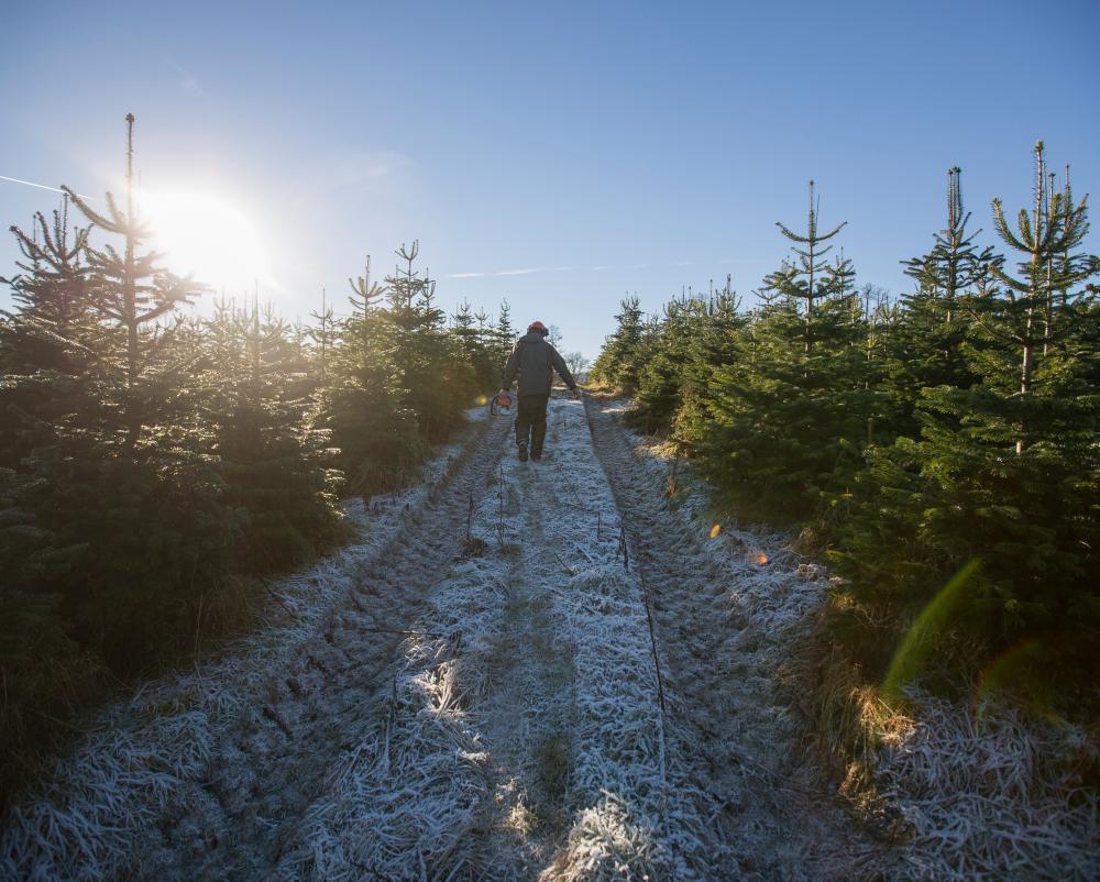 Walking through Edenmill Christmas Trees